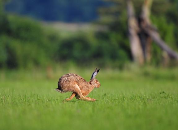 Hase läuft über Feld
