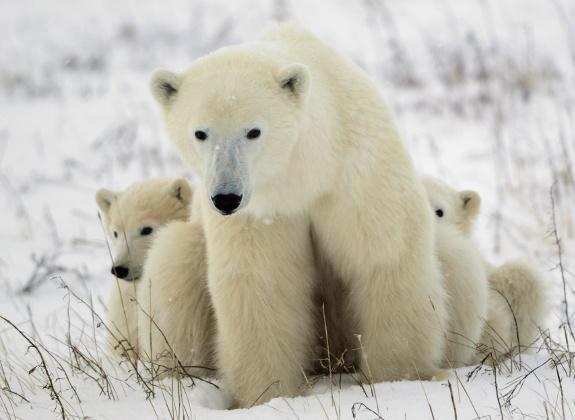 Eisbärenmutter mit zwei Jungen