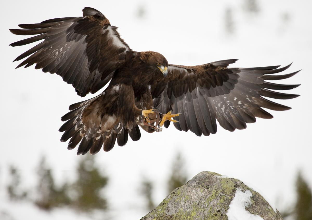 iStock_000012044664_Golden Eagle has landed_Medium_0.jpg