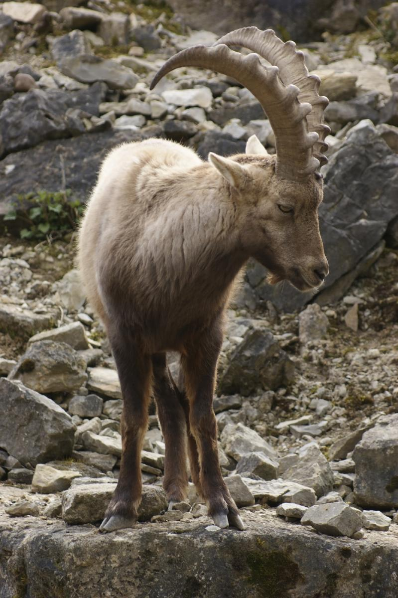 iStock_000013300017_Alpine Ibex on rock formation_Medium_0.jpg